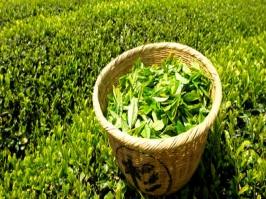 Extrato Glicólico de Chá Verde