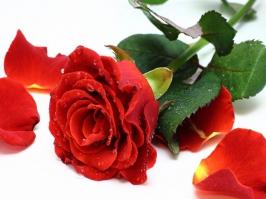 Essência Rosa Vermelha