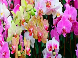 Essência Ylang Ylang com Orquidea