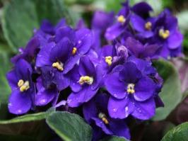 Essência Violeta