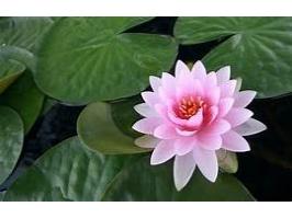 Essência Flor de Lotus